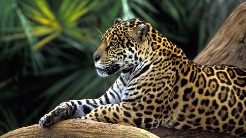 jaguar-in-amazon-rainforest